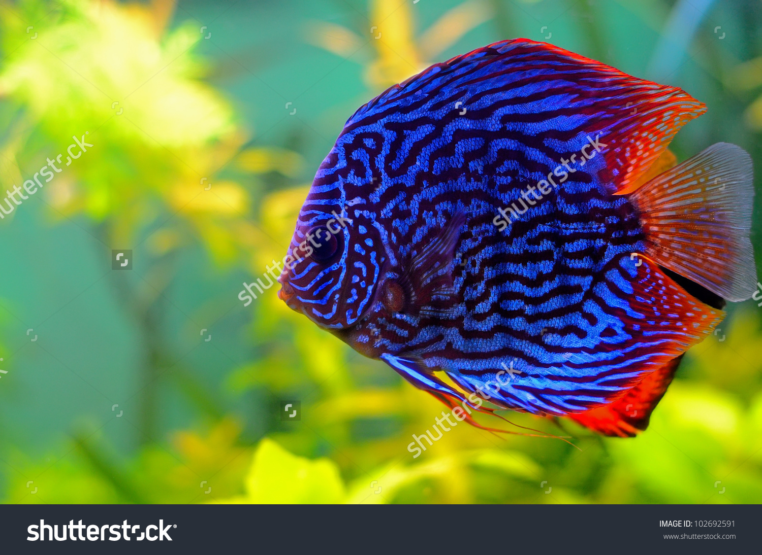 Blue discus fish the fishop the fishop for Discus fish price